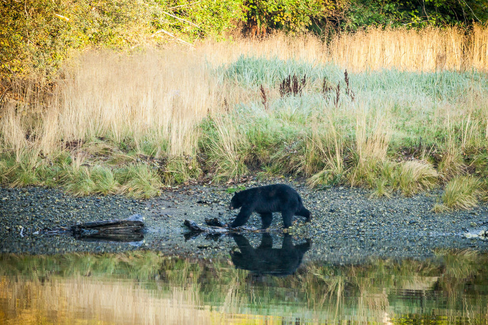 black-bear-port-renfrew-estuary.jpg