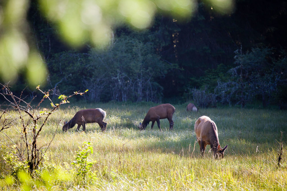 roosevelt-elk-meadow-port-renfrew.jpg
