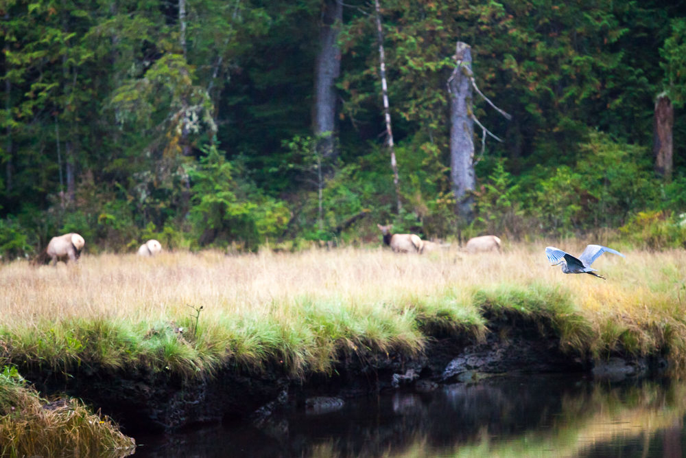 elk-heron-meadow-port-renfrew-bc.jpg