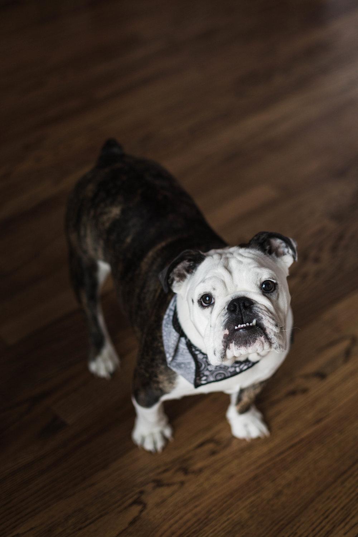 English bulldog photographed by Chciago portrait photographer Katharine Hannah