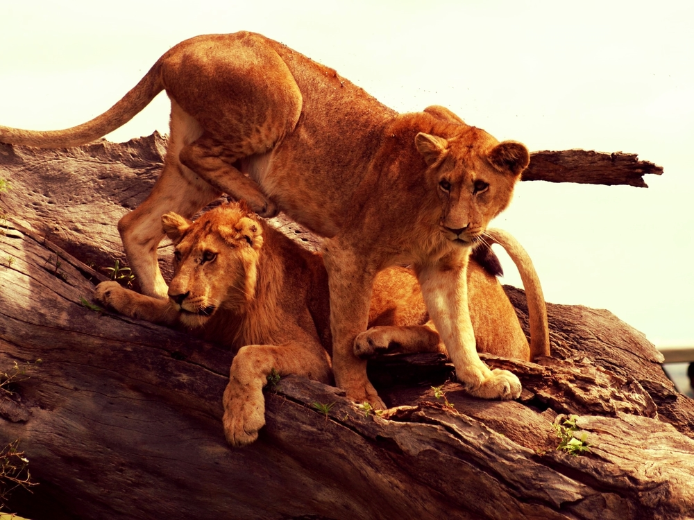 Lions-at-Kidepo-Valley-Instinct-Safaris.jpg