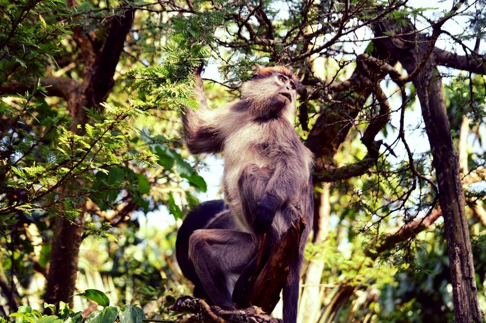 Thirteen primate species reside in Kibale National Park, including the endangered Ugandan red colobus monkey.