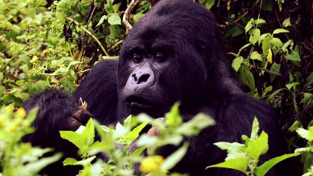 Close-up of a mountain gorilla of Rushaga group in Bwindi Impenetrable National Park.
