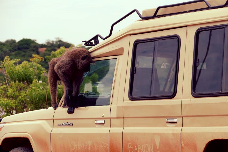 Baboons often climb our safari vehicles, like here on the way from Queen Elizabeth to Kibale National Park.