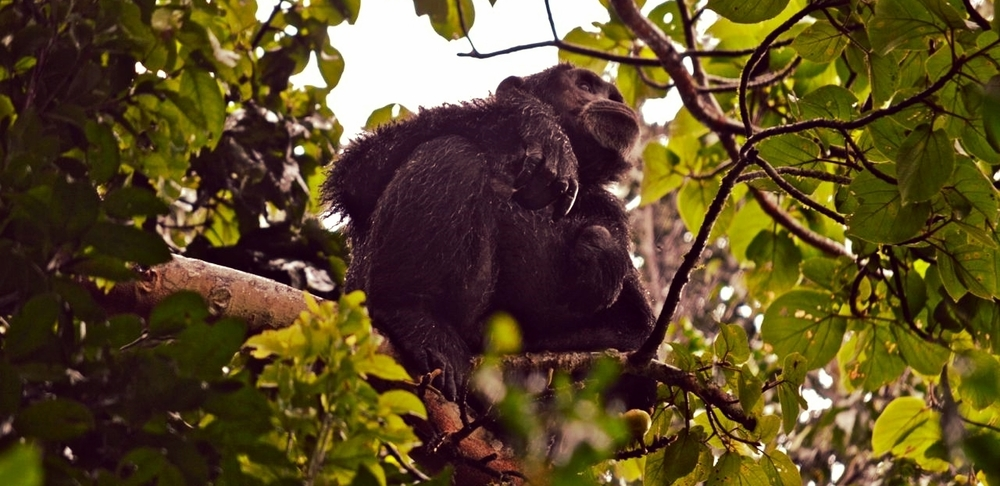 Chimpanzees are the main attraction at Kibale National Park. 13 primate species have been recorded in the dense rain forest.
