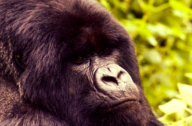 mountain-gorilla-trekking-uganda-silverback-instinct-safaris.png
