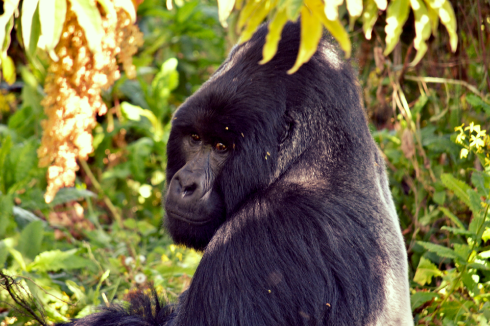 We track mountain gorillas in Bwindi and Mgahinga Gorilla National Park