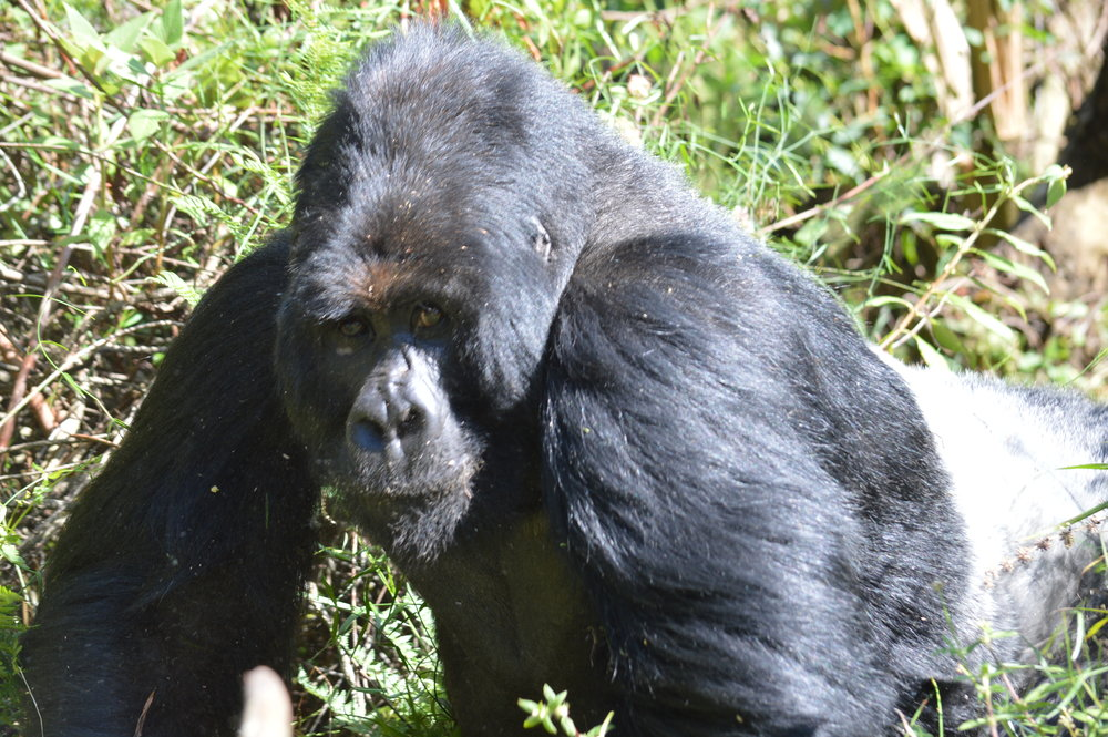 Silverback from Nyakagezi family in Mgahinga forest gazing at tourists