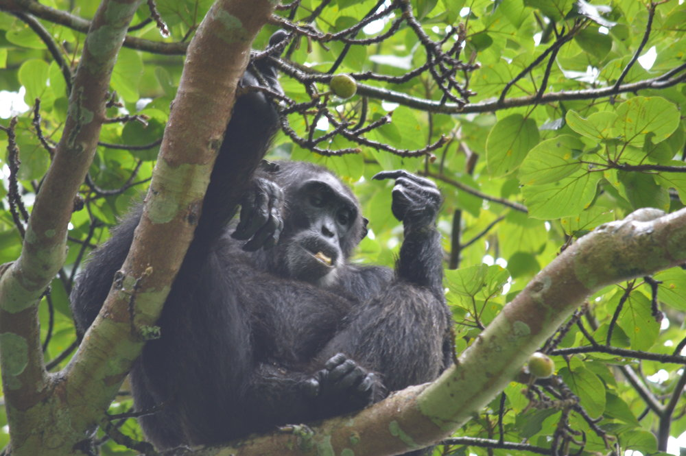 Chimpanzee on breakfast inside Kibale forest in Uganda