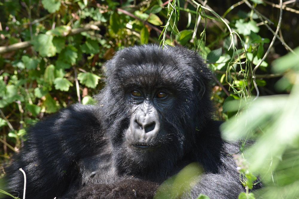 Adult mountain gorilla inside Bwindi impentrable forest-Uganda.