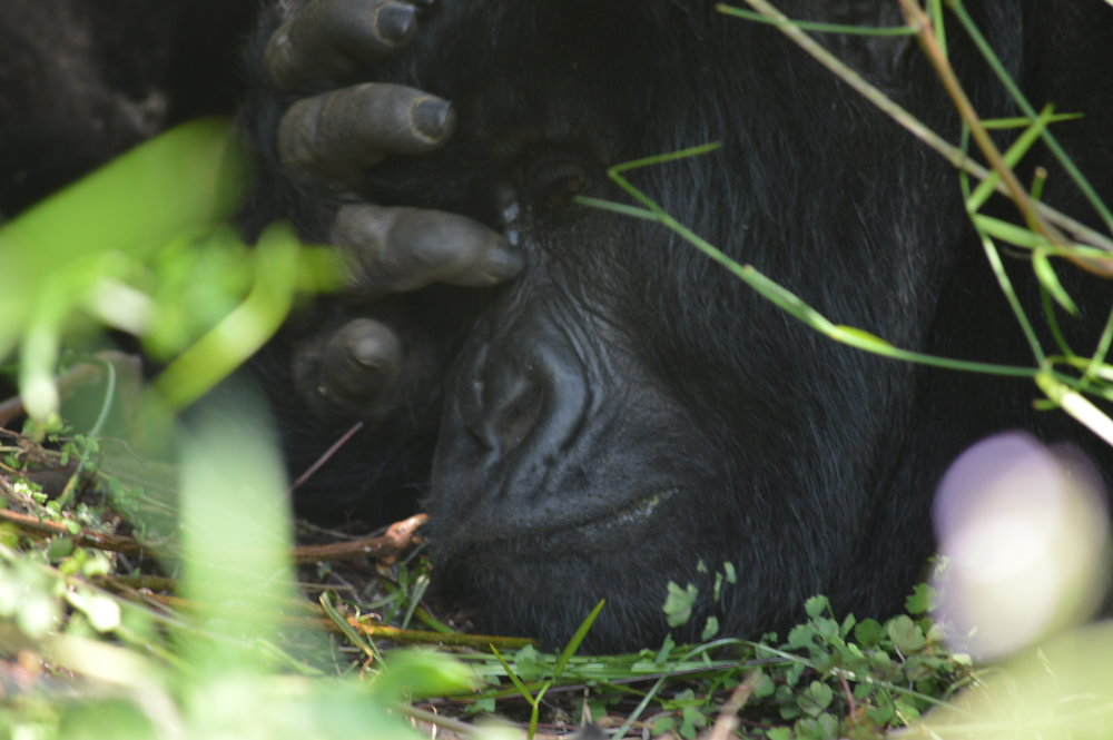 Time to relax-Mountain gorillas of Rushaga Bwindi forest