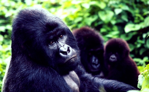 The mountain gorilla habituation experience allows four hours with the gentle giants