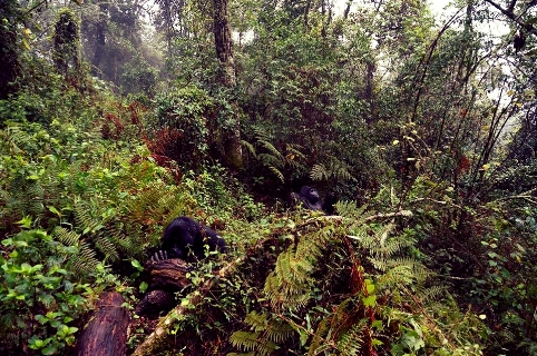 Reaching the mountain gorillas deep in Bwindi Impenetrable National Park.