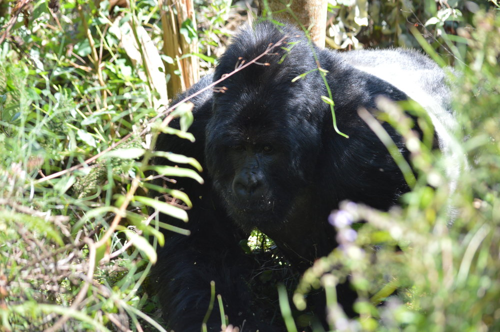 Coming eye to eye with an adult male silverback of 6 feet tall  when standing upright that can weigh 400 to 500 pounds is truely rewarding experience.