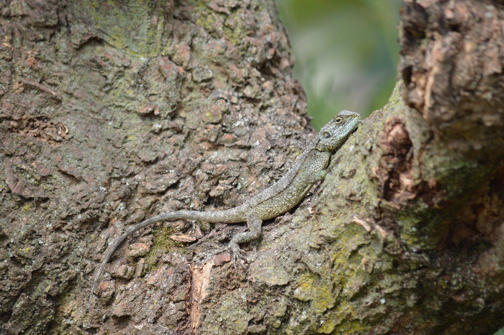 Don't forget o identify this reptile on your way to the mountain gorilla trek.