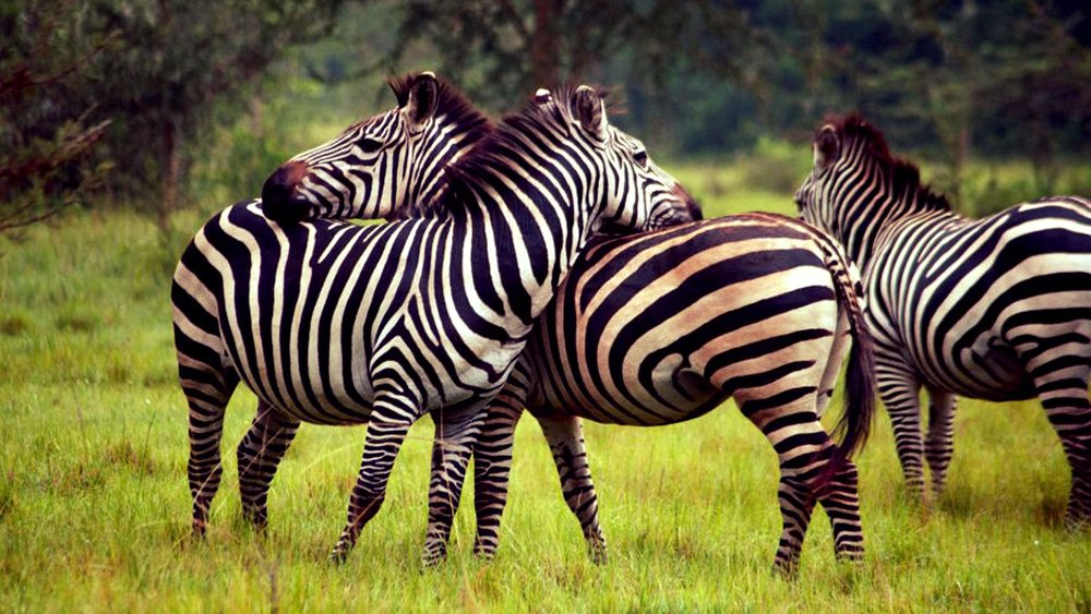 lake mburo zebras instinct safaris.jpg