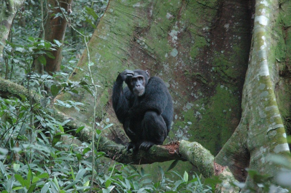The chimpanzees of Kibale forest in Uganda will need your good camera!