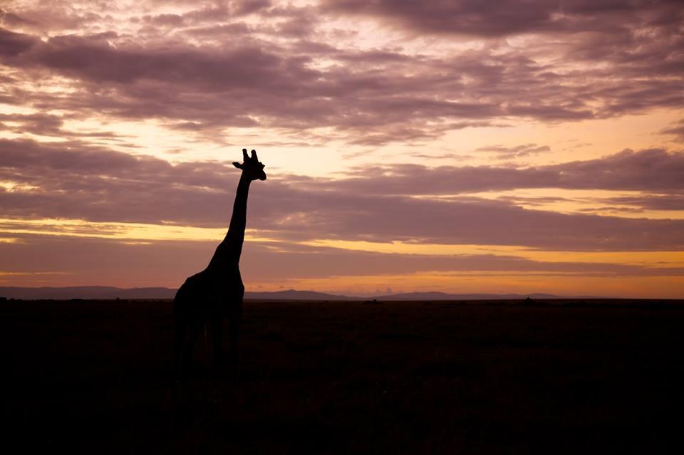 Majestic giraffe.jpg