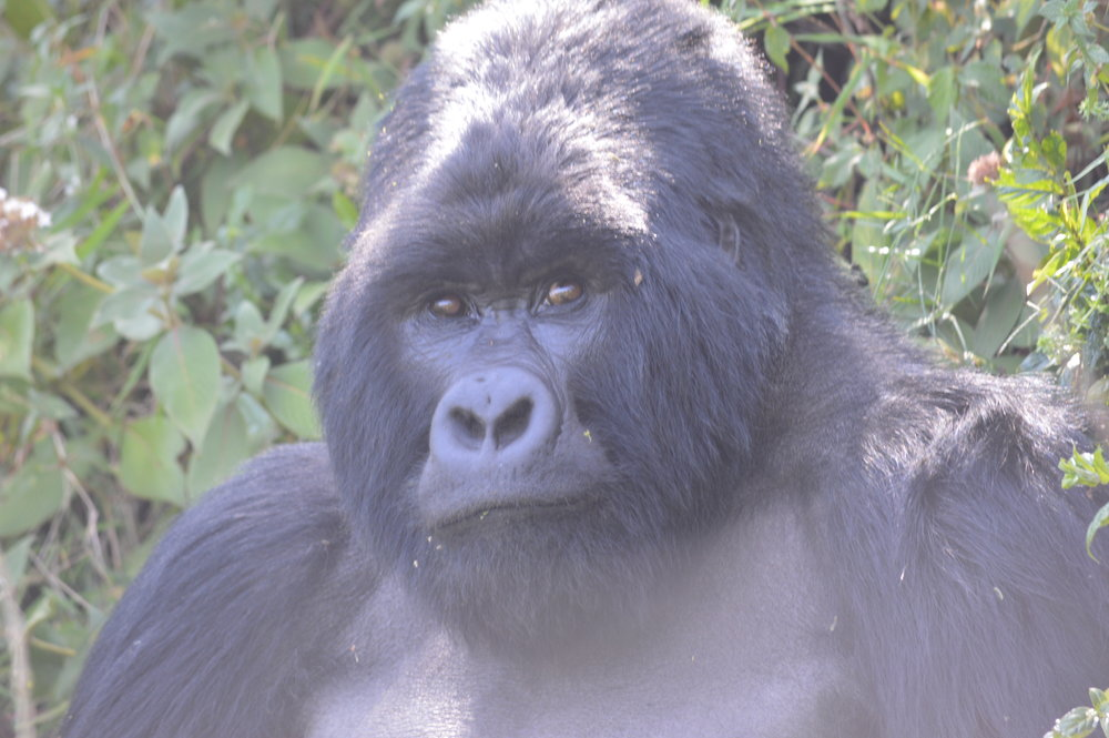 Mountain gorillas of Uganda