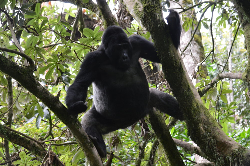 An adult male Mountain Gorilla silverback climbing atree to grab marianthus fruits for breakfast inside bwindi south at Rushaga sector.