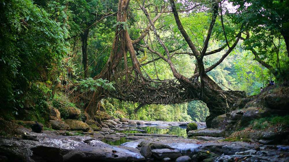 Image of a living bridge in Maghalaya, India. Photographer unknown.