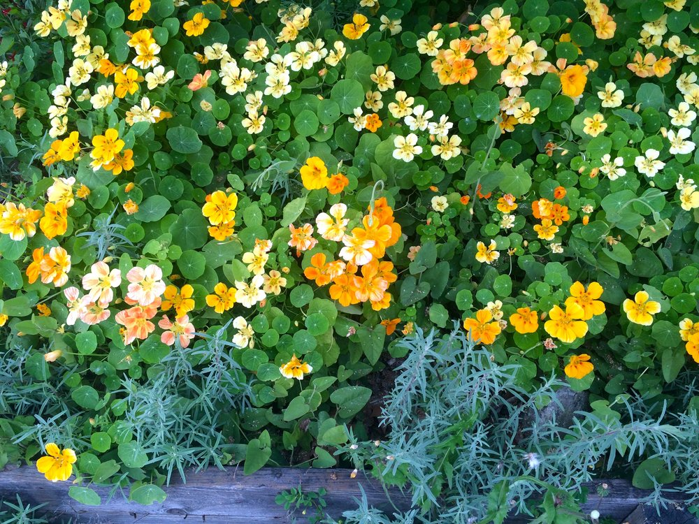 [Image of lush orange, yellow and pink flowers surrounded by round green leaves. A piece of weathered wood lines the bottom of the frame. Photo by Mia Mingus]
