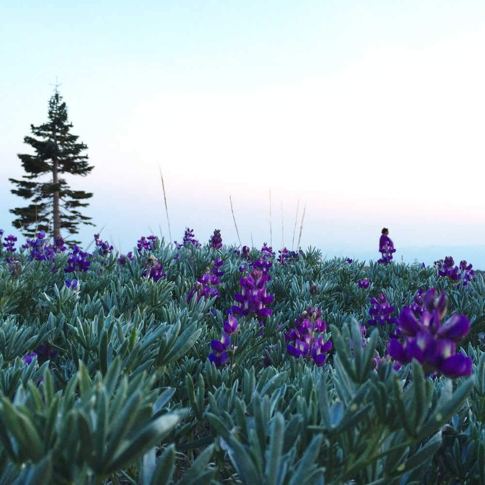 [Image of a field of purple lupines at dusk, with a single pine tree and the small silhouette of a person standing far in the background, blending in with the lupine blooms. Photo by Mia Mingus]