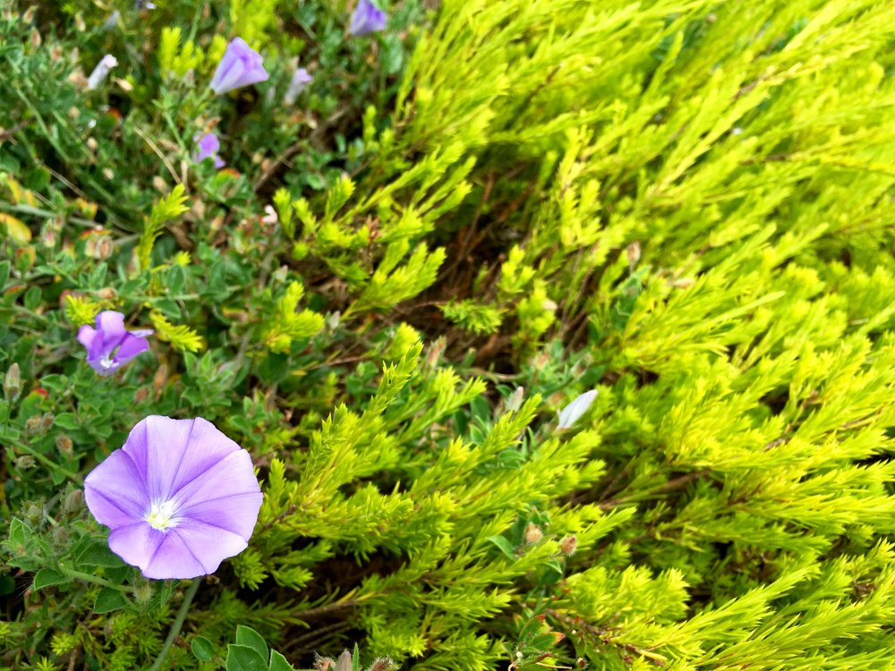 [A purple morning glory and several closed blooms, surrounded by green leaves. Photo by Mia Mingus.]