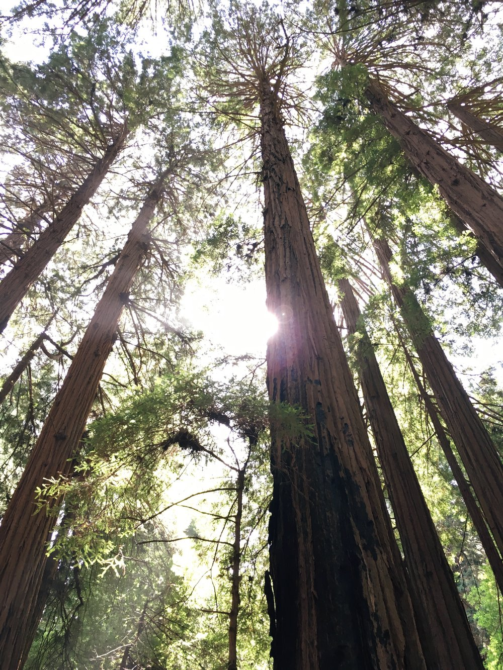 [Image of redwood trees with the sun shining through. Photo by Mia Mingus]