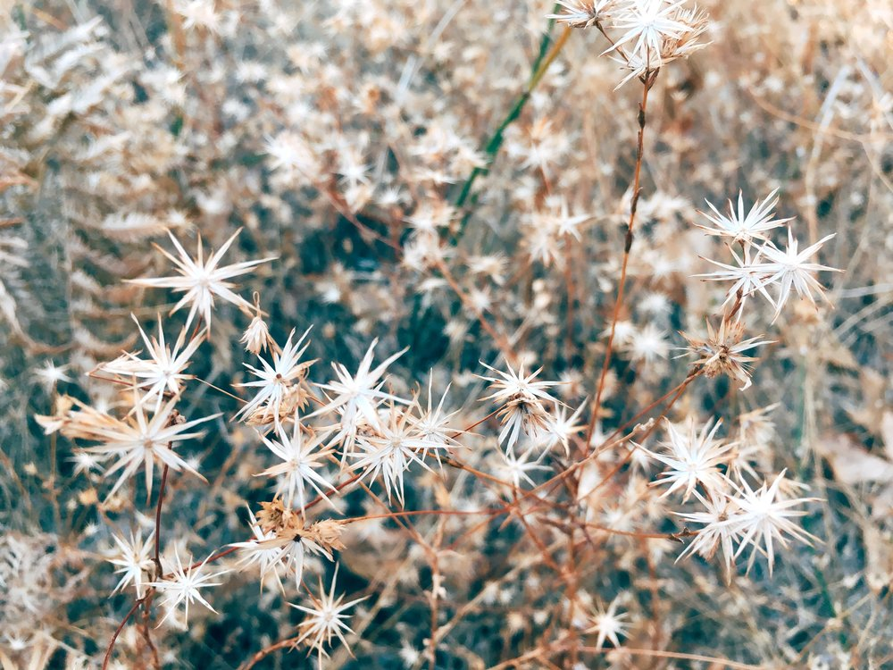[Photo of a small brown plant with white spikes that look like stars that'll the frame. Photo by MM]