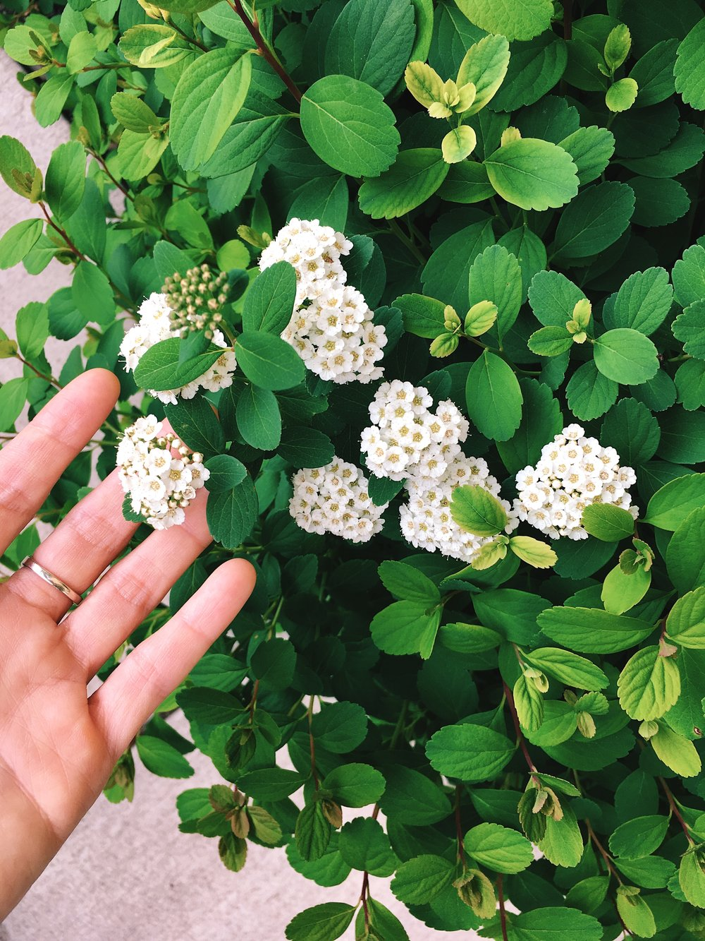 [photo of my hand holding small, clustered white flowers with green leaves. Photo by MM]