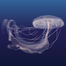 Amakusa jellyfish