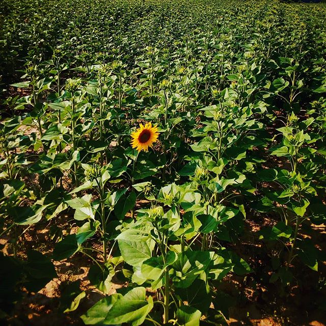 Hello sunshine! There's a treat in store for guests over the next few weeks... #bordeaux #winecountry #vineyardhotel #bedandbreakfast #sunflower #bealeadernotafollower