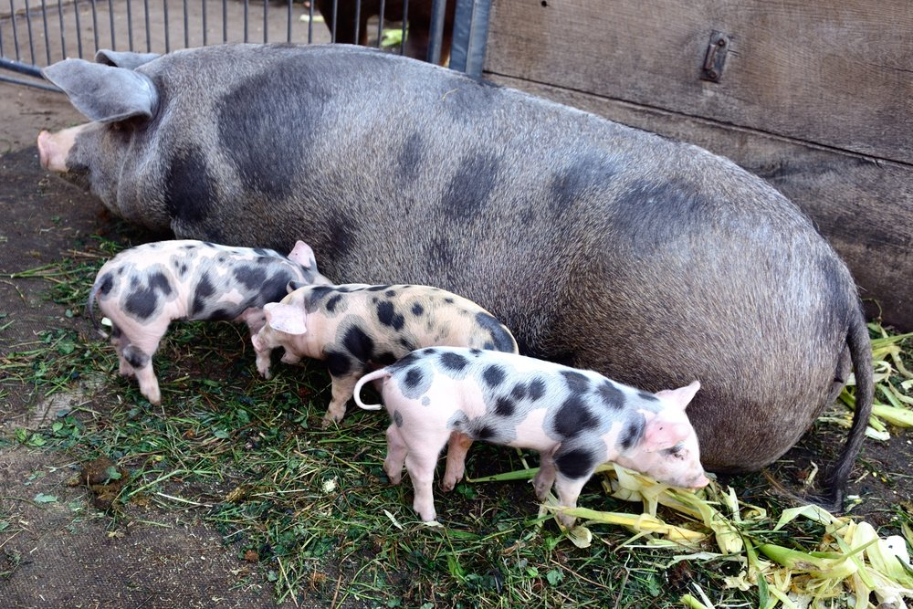 Piglets at the Dottenfelderhof, near Frankfurt (Photo copyright © by Anne Noble)