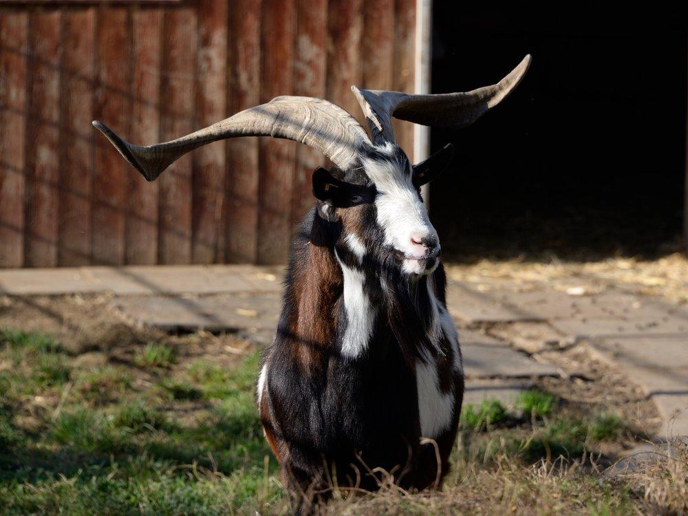 368_Goat_2462.jpg