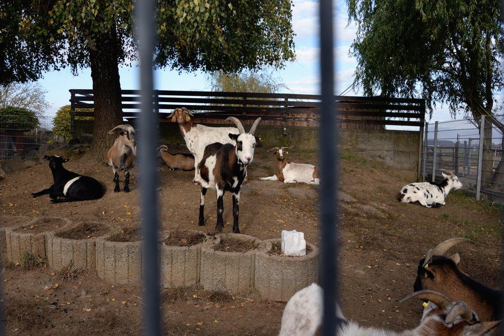 368_Goats_2496.jpg