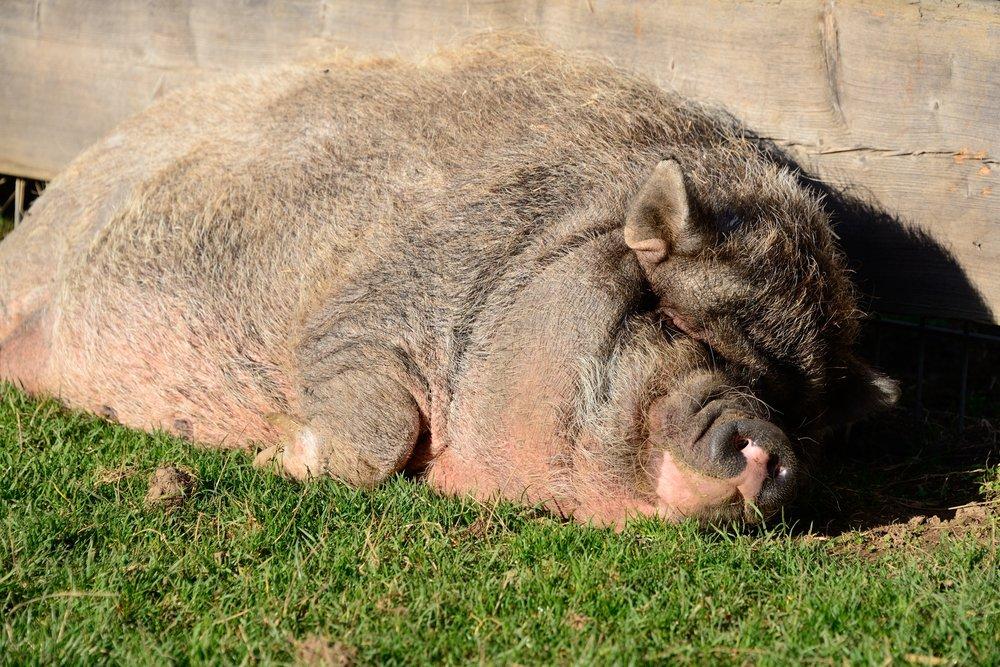 368_Pig_2470.jpg