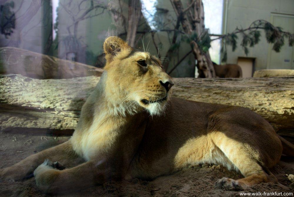Vanni the lioness