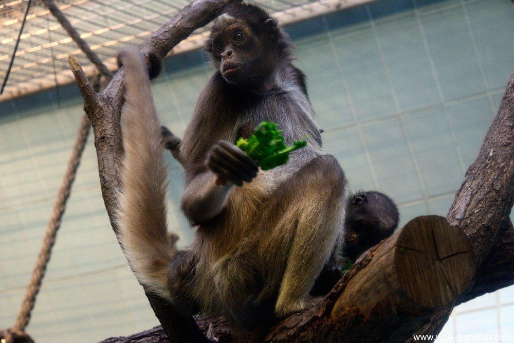 Frankfurt_Zoo_Monkey_419_1087.jpg