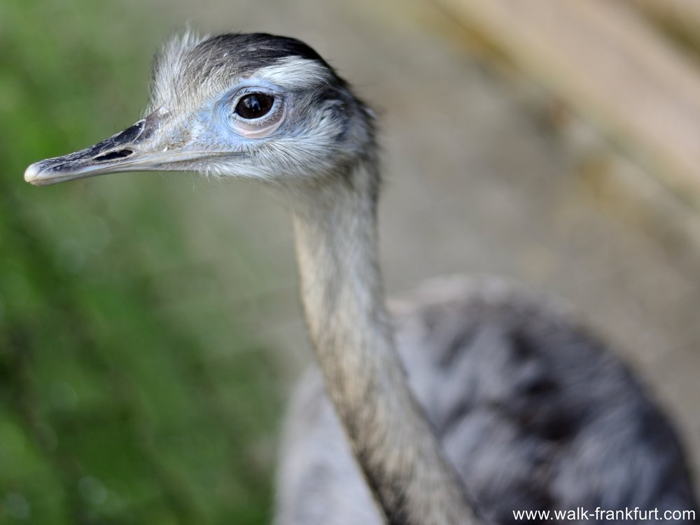 Ostrich Strauss