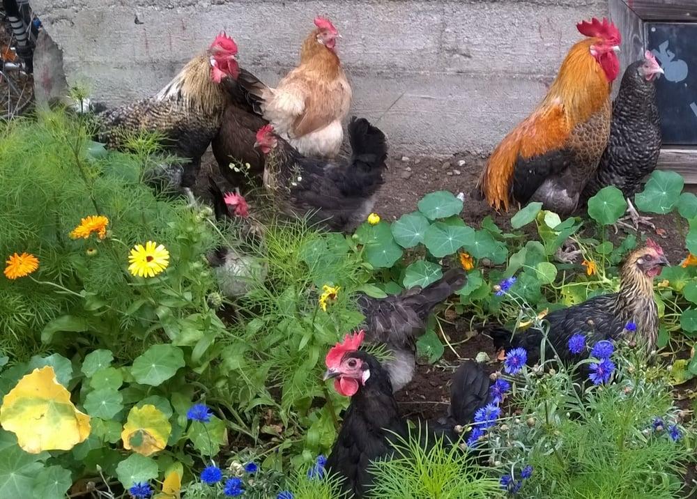 Kanat ja kukot kukkapenkissä