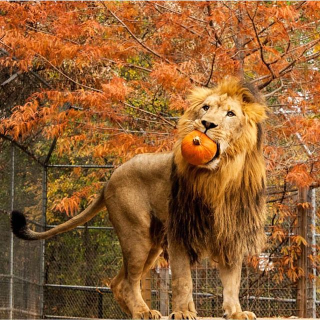 I love this photo so much. 😂 Happy November! 🦁🍁🎃💛 @tiger_creek