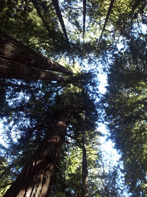 Muir-Woods-SDB.jpg