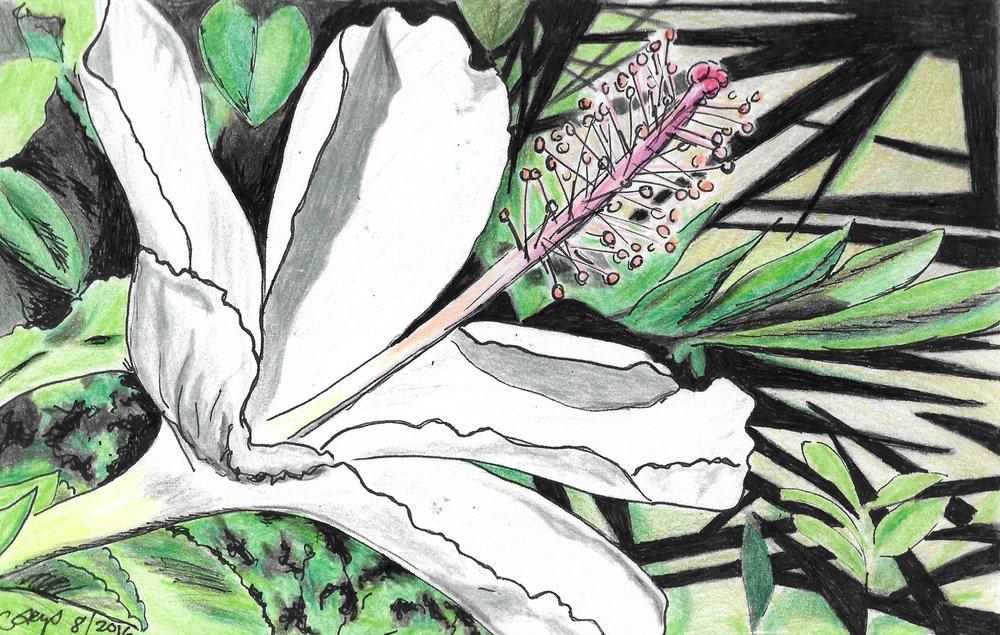 Hibiscus, Nakuru Kenya