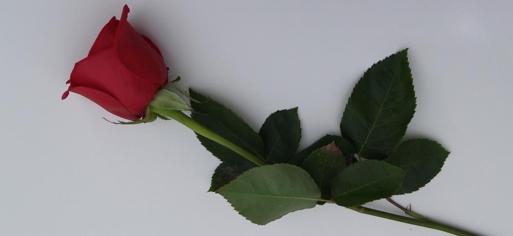 rose-2567126_1920.jpg