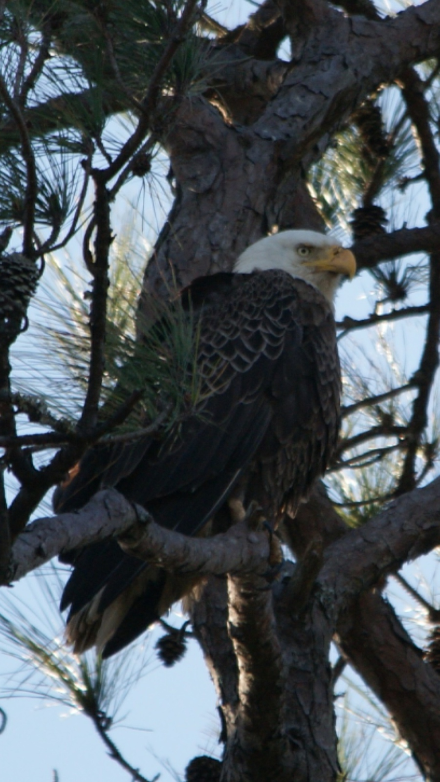 This bald eagle can be seen daily perched in a long leaf pine on Battery White, but you can also see this species up close and in free flight at the Center for Birds of Prey in Awendaw. Photo by Tal Tallon, a resident of Belle Isle.
