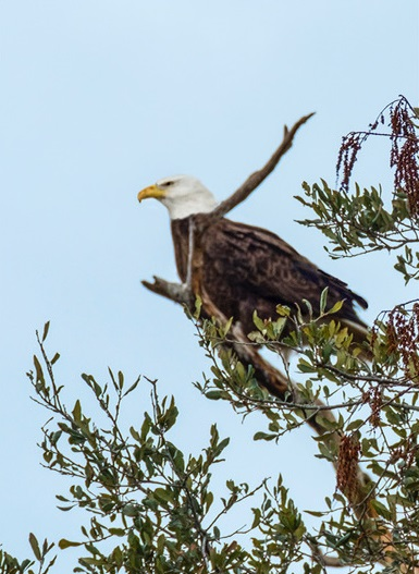 This precious bald eagle is a full-time resident at Belle Isle. Photo by Belle Isle resident, Charles Young, 2/18/18, in a Regime 3 tree.