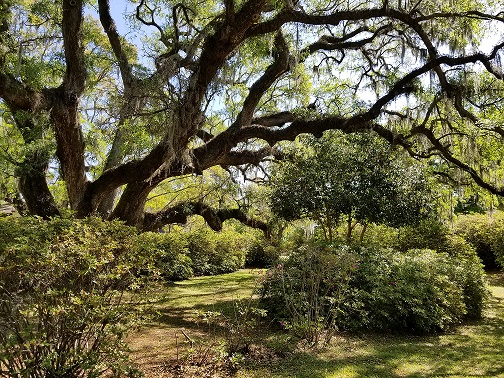 Moss-draped live oaks offer dramatic wedding photo scenes