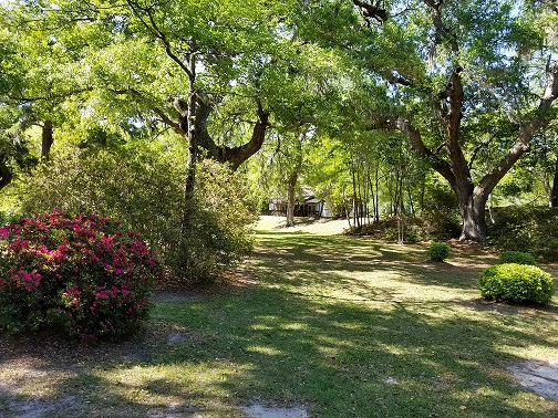 More lowcountry beauty in our midst, along the azalea all é e leading to the shady lawn.