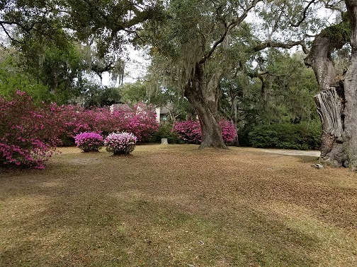 Shady Lawn Azaleas 3.jpg